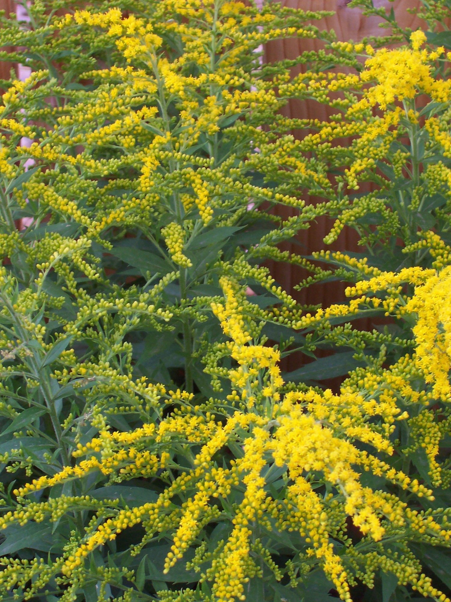 Goldenrod (Solidago) blooms in early autumn.