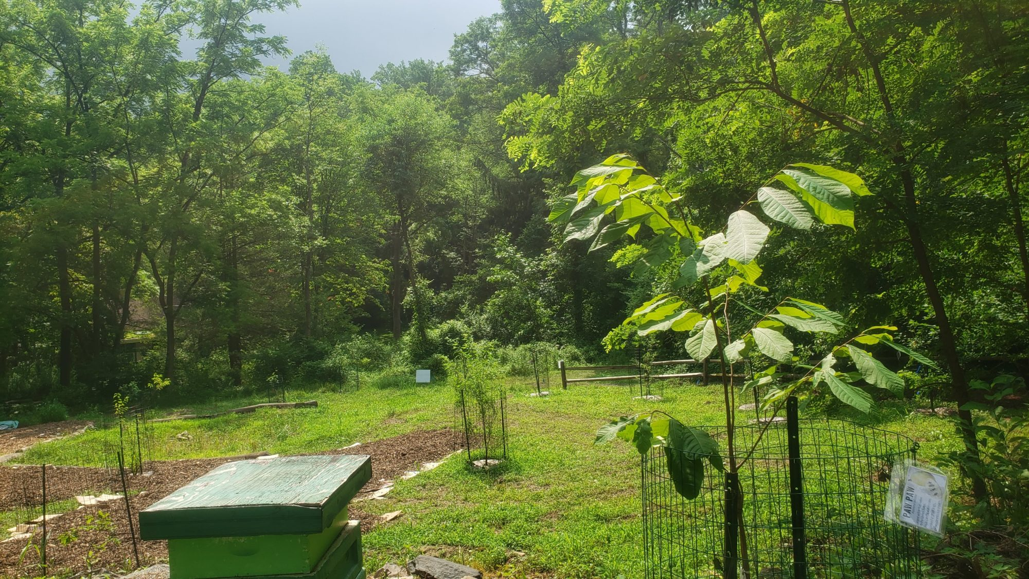 The new Food Forest in its green and leafy splendor in July 2020 (image by WEC staff)