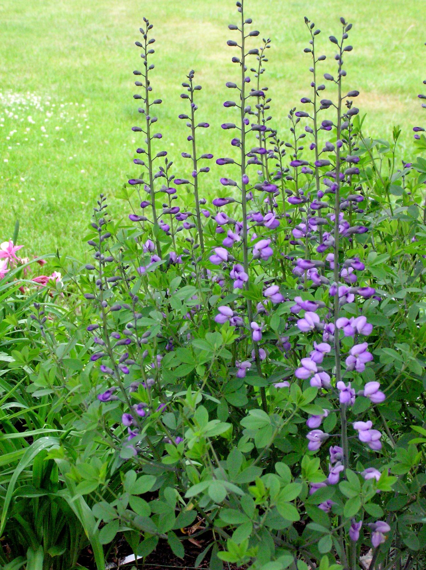 Purple smoke Baptisia, also called false indigo