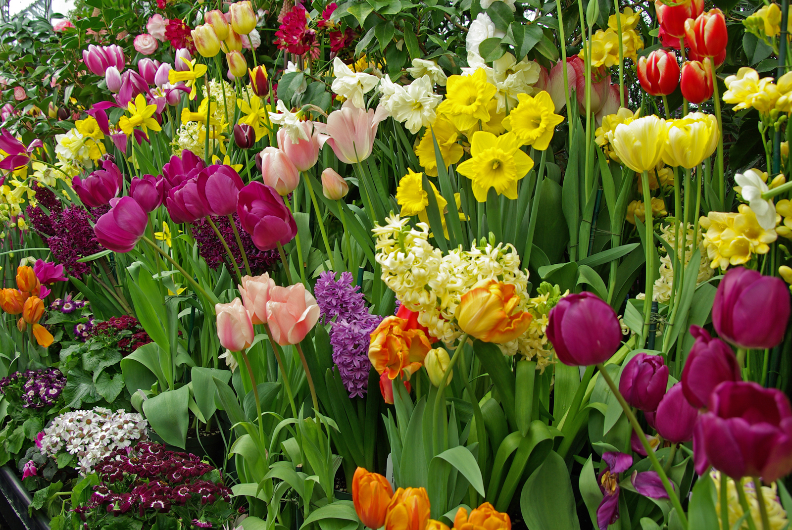 A spring display of daffodils, tulips, and hyacinths