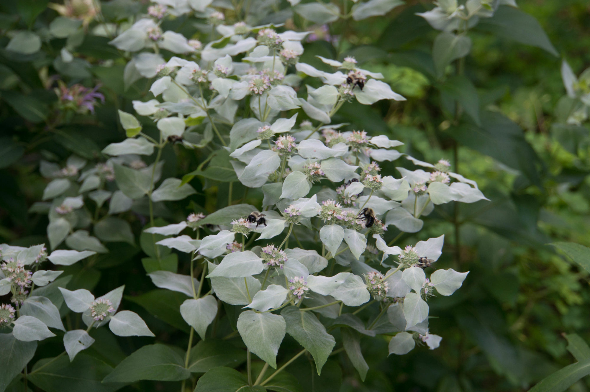 Short-toothed mountain mint (Pycnanthemum muticum) attracts a flurry of native pollinators