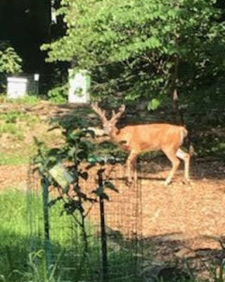 WEC staff captured this image of a buck passing through the Food Forest this spring.