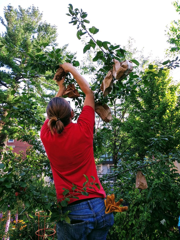A member of the volunteer garden crew at UBC Garden of Eden bagging fruit to protect it until ripe, summer 2020.