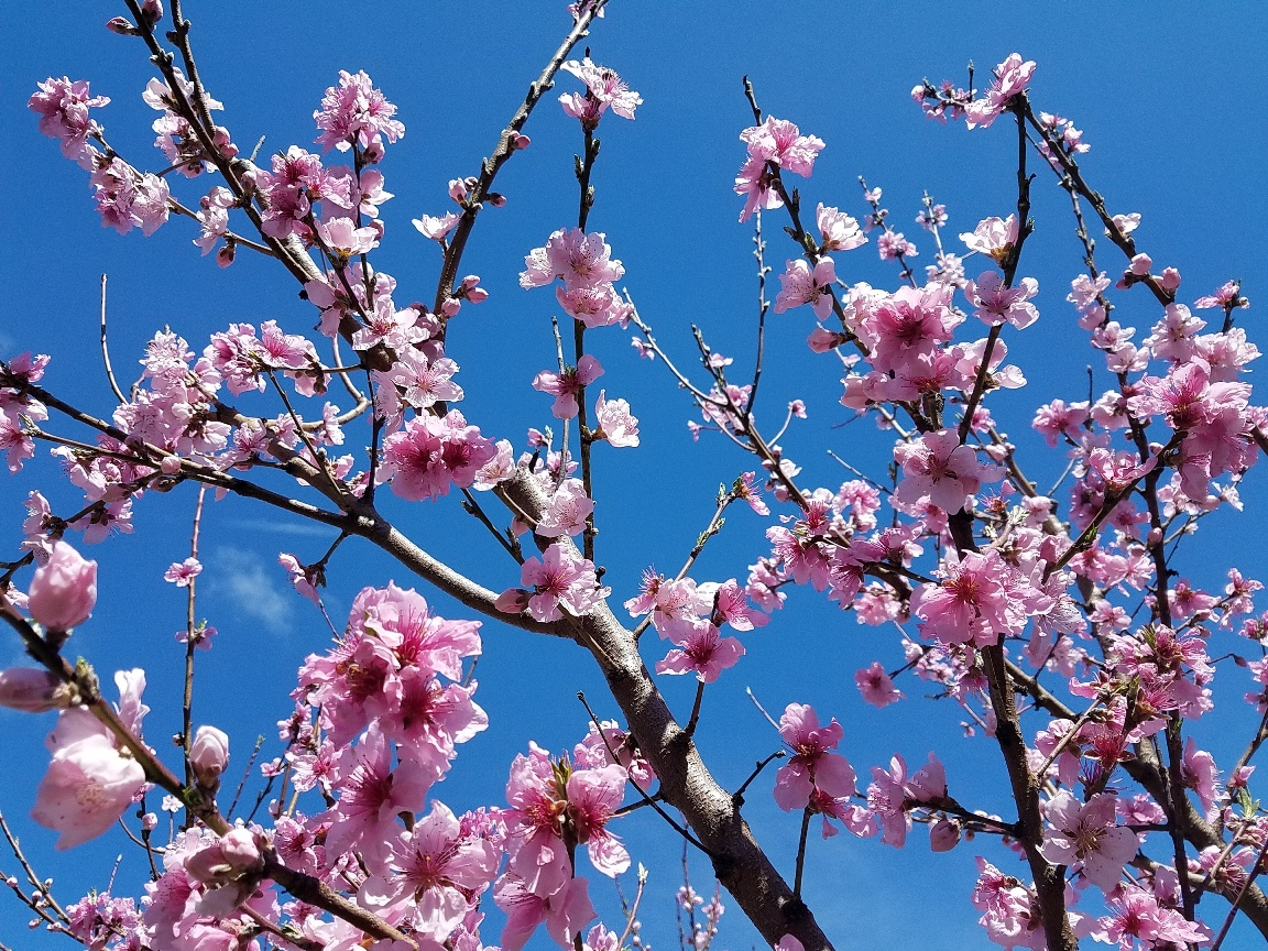 Bright pink peach blossoms against a stunning blue sky, one of the many fruit trees located on the grounds of the Overbrook Environmental Education Center.