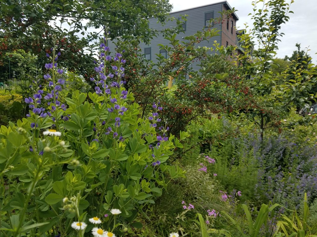 A lush garden full of pollinator plantings and a bountiful Cornelian cherry tree, with multi-story homes visible in the background