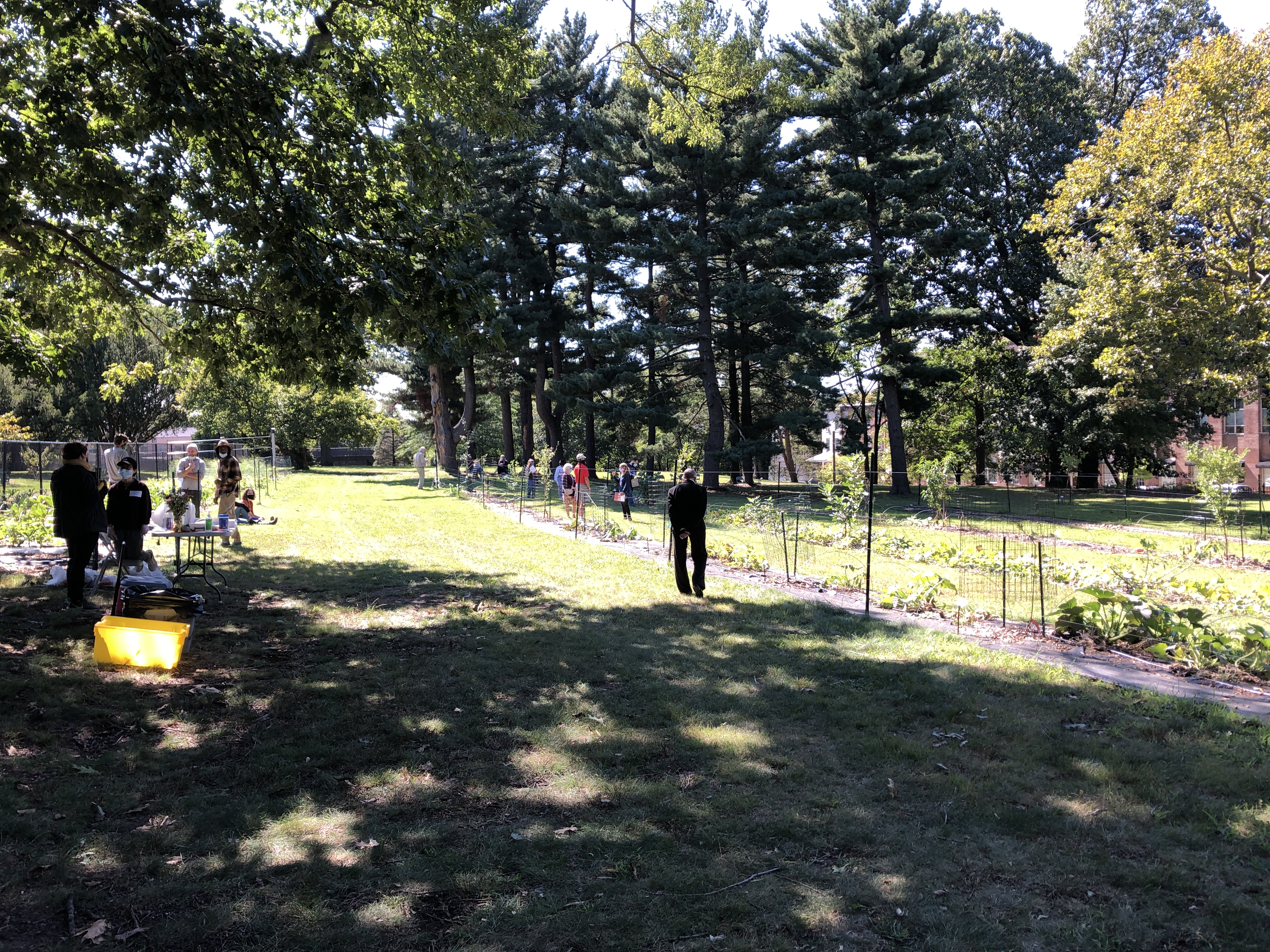 A look at the POP Learning orchard on a sunny day in the fall. The rows of new trees are dwarfed by a grouping of giant pines int he background. A sparse gathering of people, alone or in small groups, examine the plants.